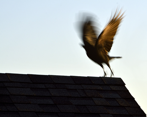 Crow Taking Off